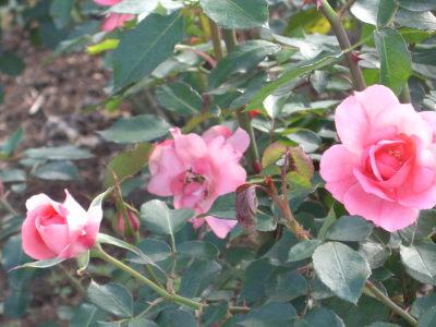 ピンク ラ セビリアーナ3.JPG